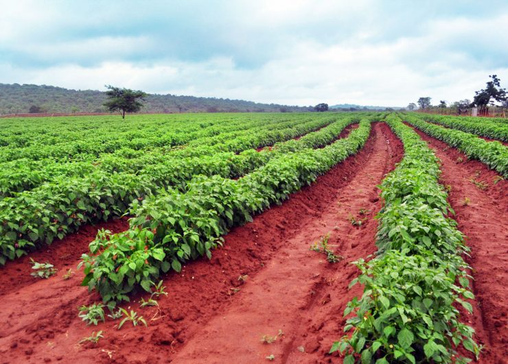 Sweet Piquante Peppers in Limpopo